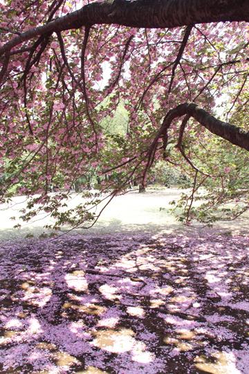10八重桜の下で