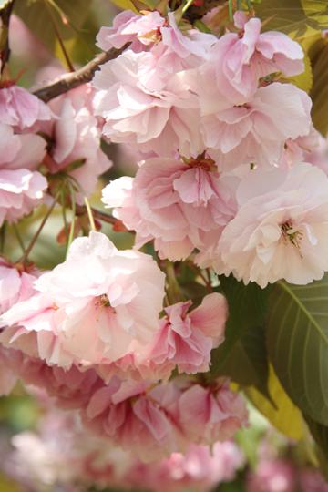 7桜園地八重桜