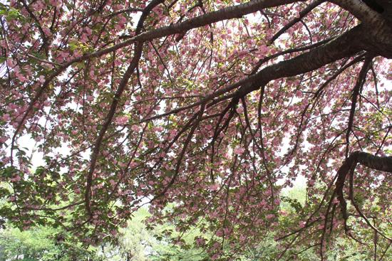 11八重桜の天蓋