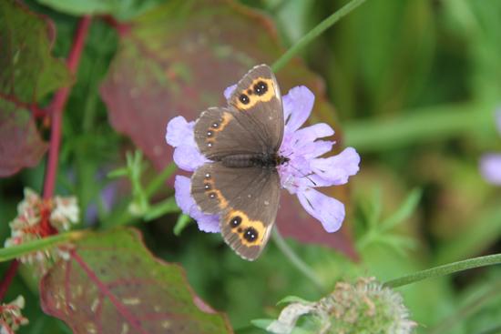 チョウと花