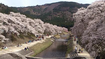 26鮎河桜7