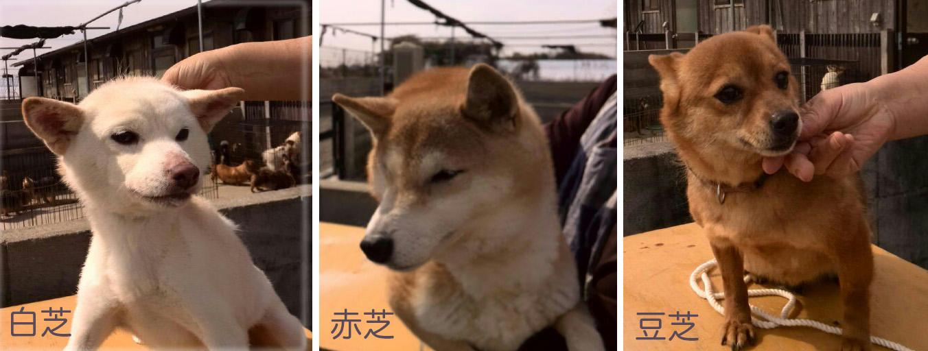 shiba__.jpg