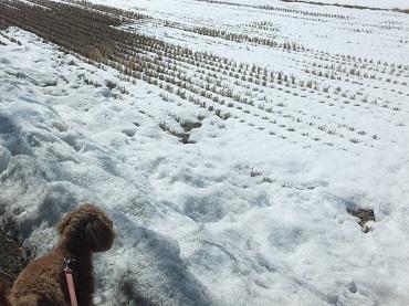 雪の残るたんぼ