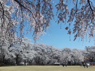 高台の桜1
