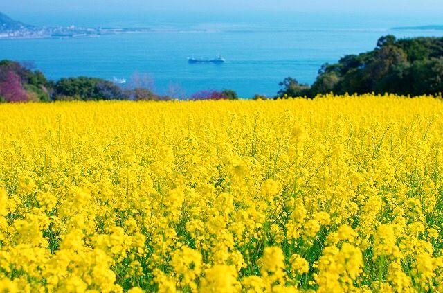 菜の花黄色い絨毯の如し(おまけつき)