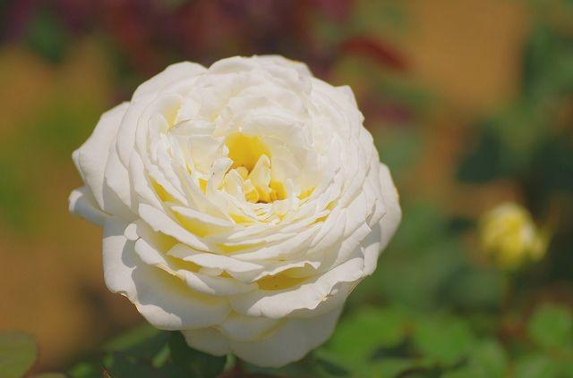 A marine centrist rose garden 2