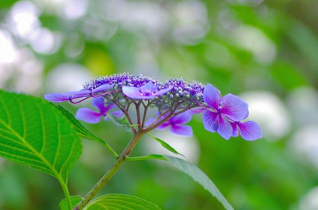 紫陽花を訪ねて