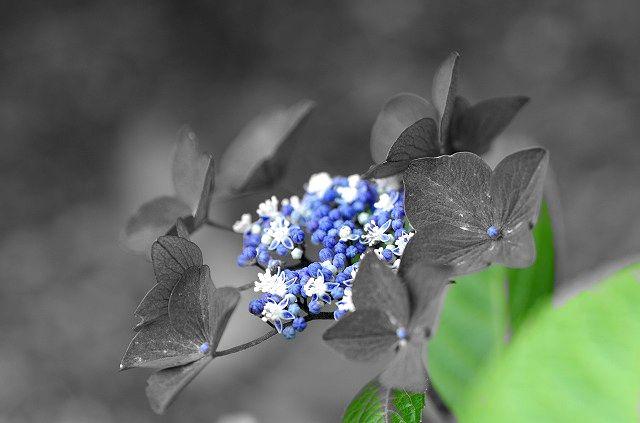 色抽出で紫陽花を
