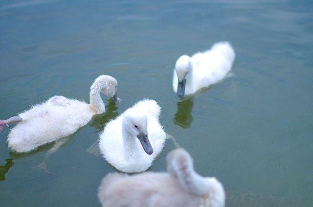 白鳥の雛さんその後