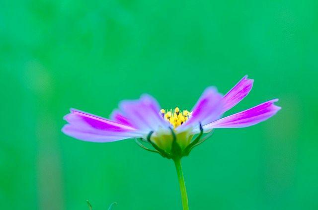 早咲きコスモス