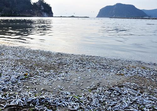 【深海魚】 キュウリエソも大量発生 富山湾漁業関係者「異常、漁にならない」  群馬県草津白根山では火山性地震が増加!