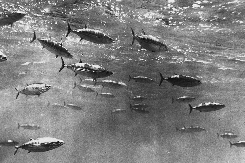 【海の異変】 カツオ、近年にない深刻な不漁に...高知県内の関係者やきもき