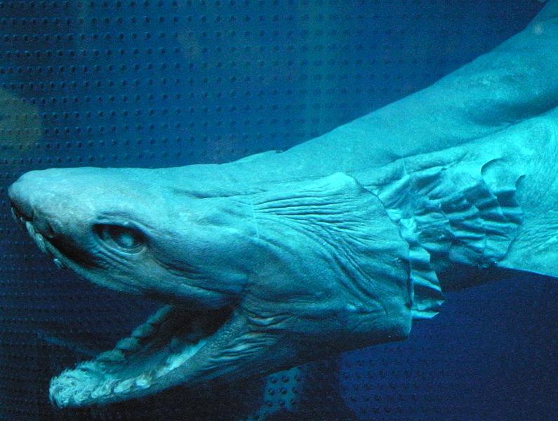 【前触れ】TOKIOが東京湾で深海ザメ「ラブカ」を生きたまま捕獲…その模様を「ザ!鉄腕!DASH!!」で放送予定