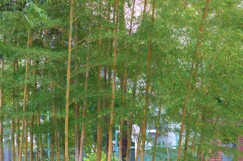 【前触れ】 山形県100年に一度と言われる竹の花が咲く!不吉なことが起こるという伝承や言い伝えがあるらしい
