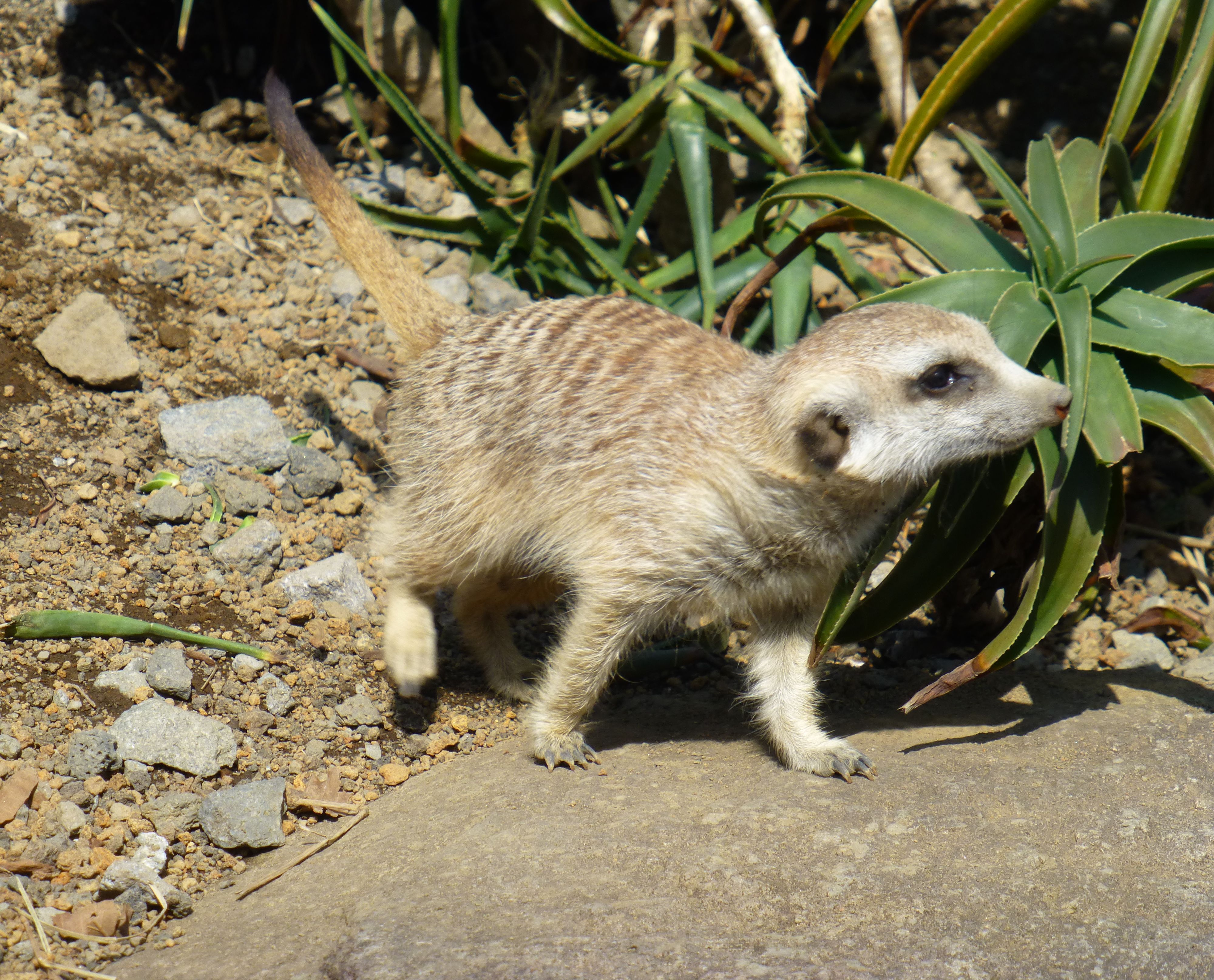 meerkat01.jpg