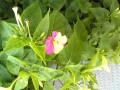色が半分づつ違うお花