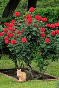 日比谷公園 赤いバラと猫