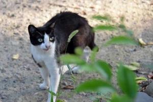 Cat and Green Foxtail Grass
