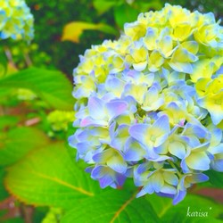 azisai-250.jpg