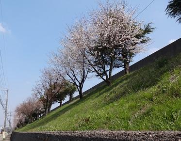 バス通りの矯正桜です。