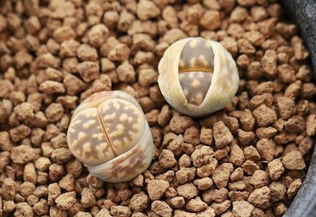 リトープス・C108琥珀玉