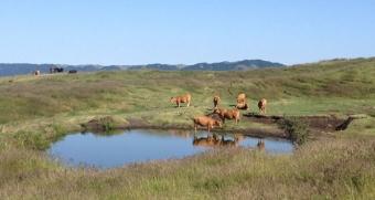 草千里の牛